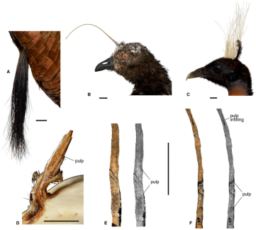 Figure-4-A-the-'beard'-of-the-turkey-Meleagris-gallopavo-Galliformes-uncatalogued